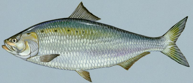American Shad, from US Fish and Wildlife Service