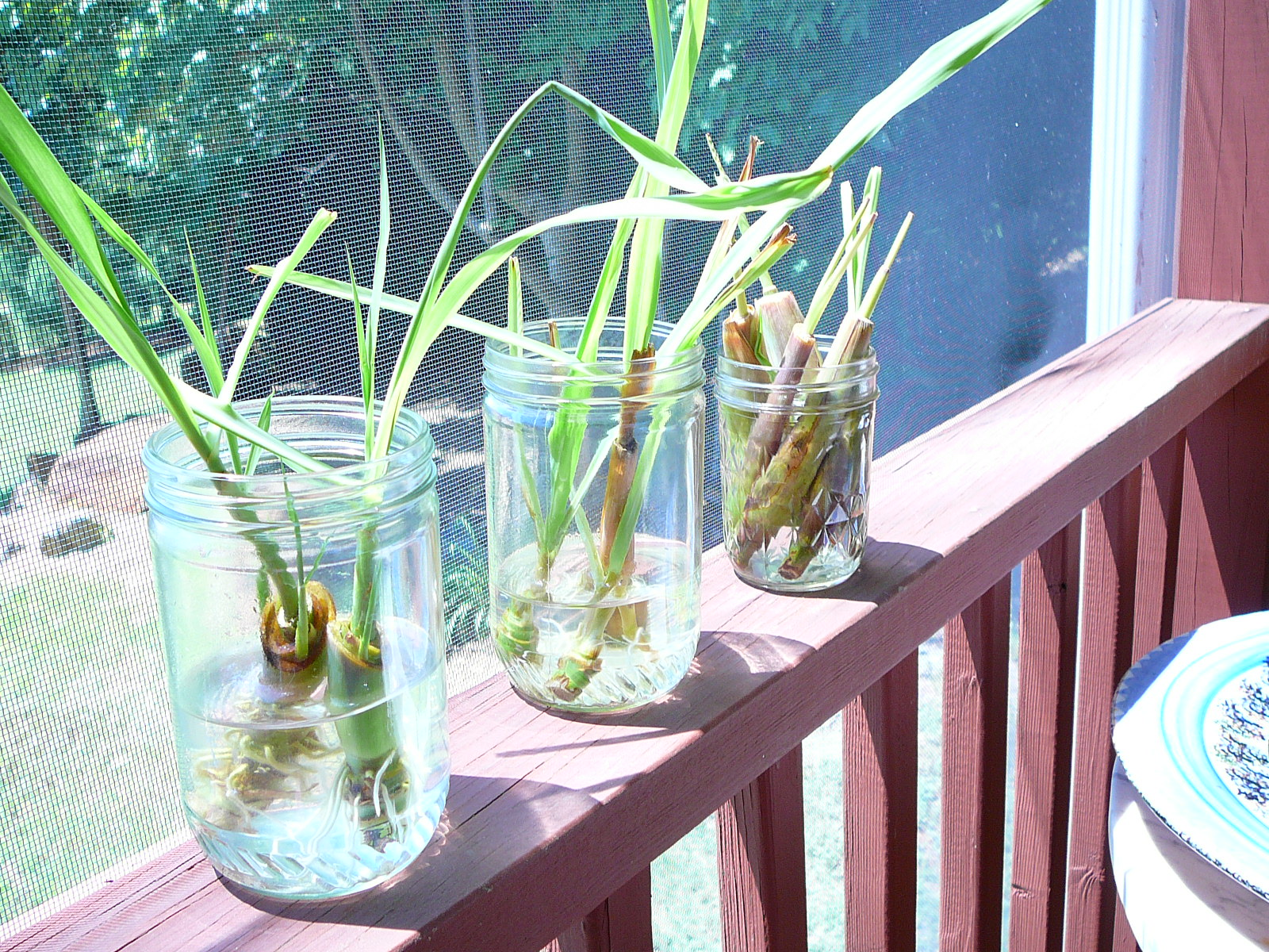 Lemongrass mama stalks, ready to plant
