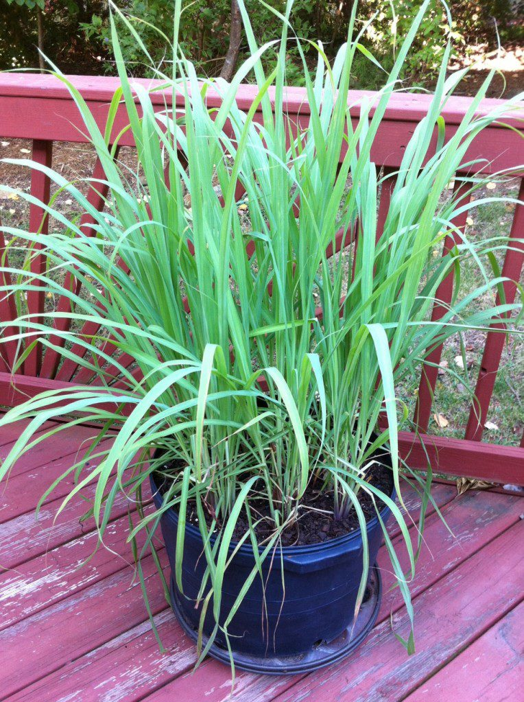 Lemongrass pot, on the back deck of my Chapel Hill NC home, To root your own, all you need are some good fresh lemongrass stalks, water, dirt, sun, and a little time.