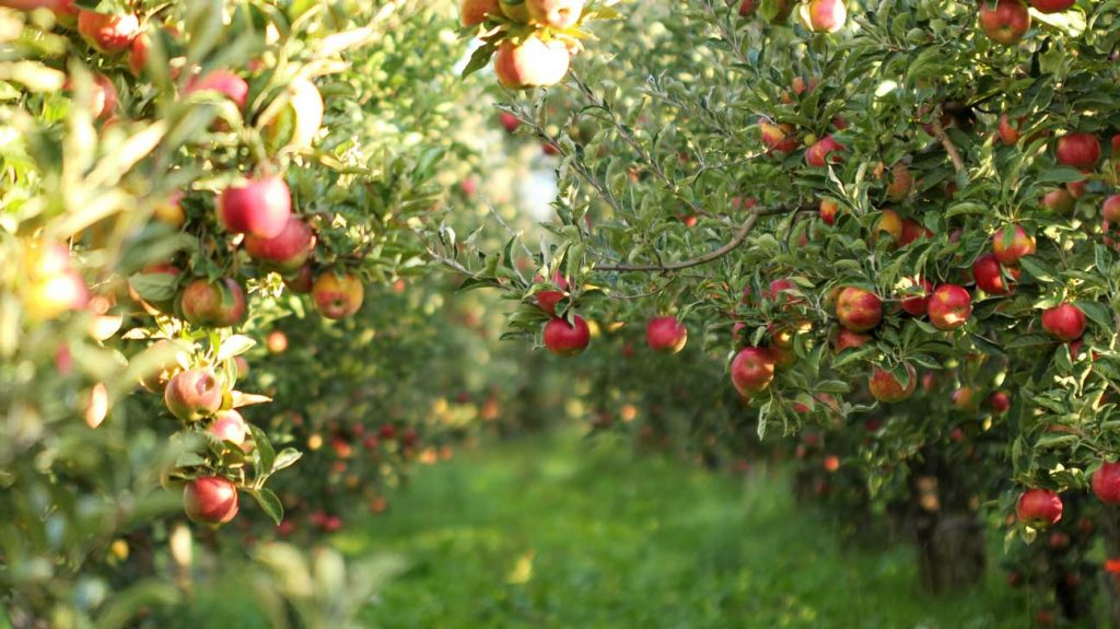Horizontal view into an apple orchard, with trees laden with red ripe apples and a green grassy pathway leading deeper into the orchard