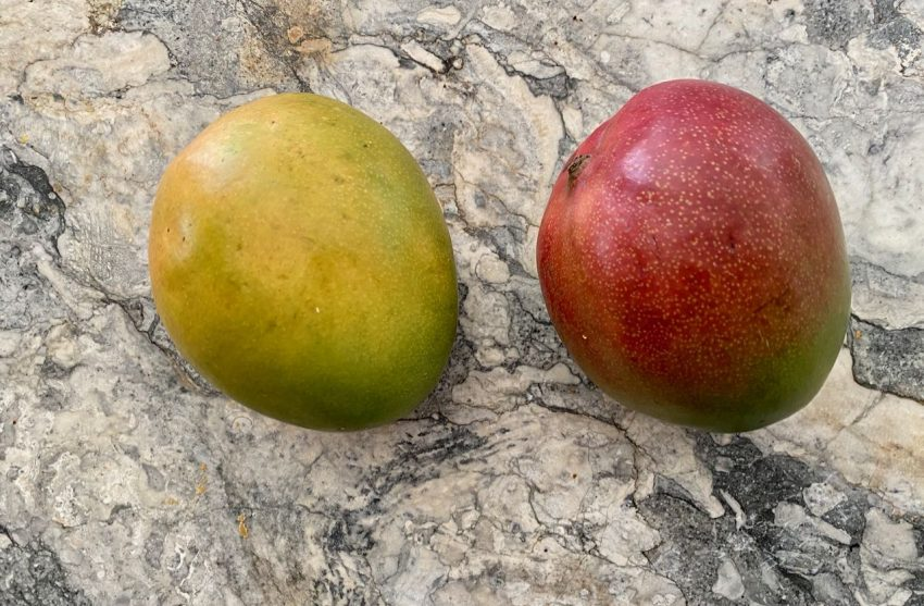Two plump mangoes : green/yellow on the left and red on the right. Big fat juicy goodness on marble counter